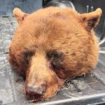 Bear With Me: When Pepper Spray's Got Nothing to Say to the Bear Eating Your Leg