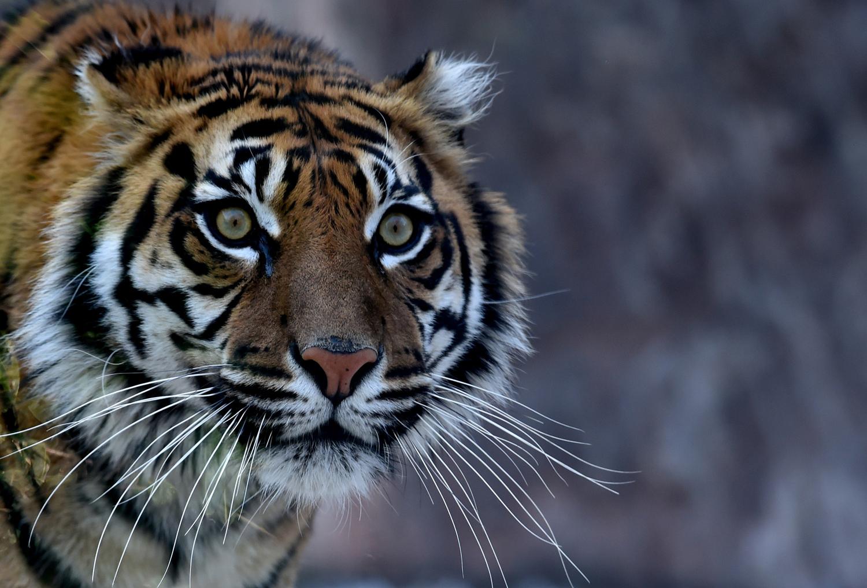 ITALY-ZOO-TIGER-ANIMALS