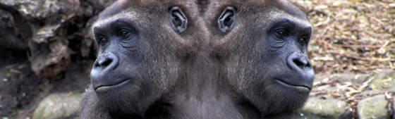 Two-Headed-Gorilla-25908.jpg