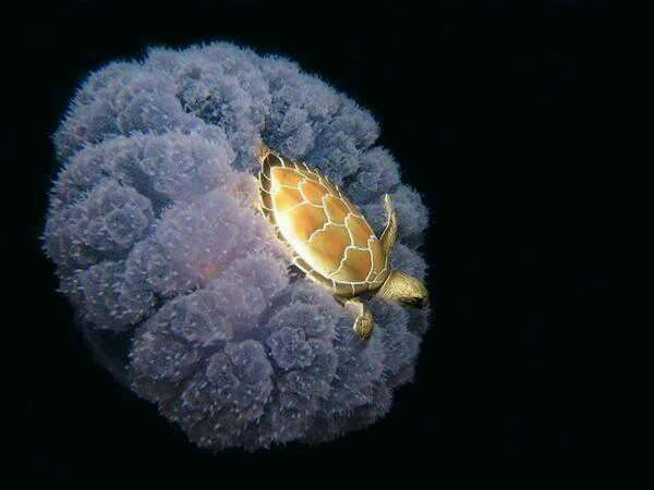 a-turtle-riding-a-jellyfish-photo-u1.jpg