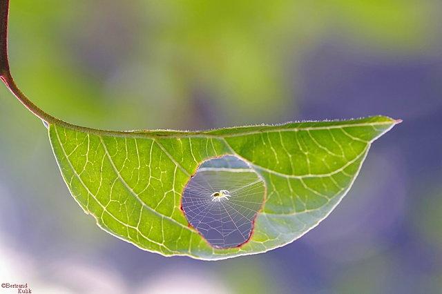 a_spiderleaftop.jpg