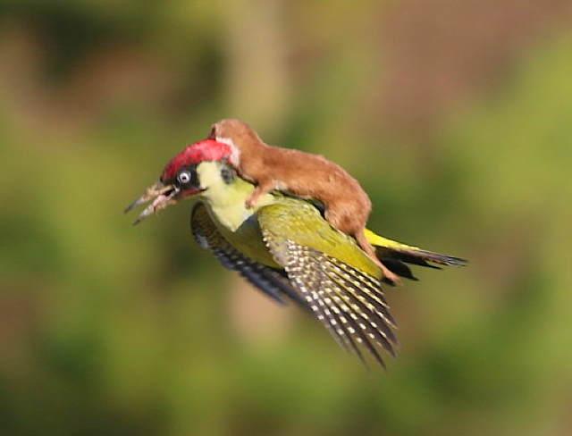 a_weaselwoodpecker.jpg