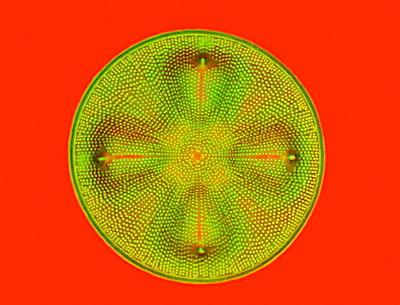 aa-diatom.jpg