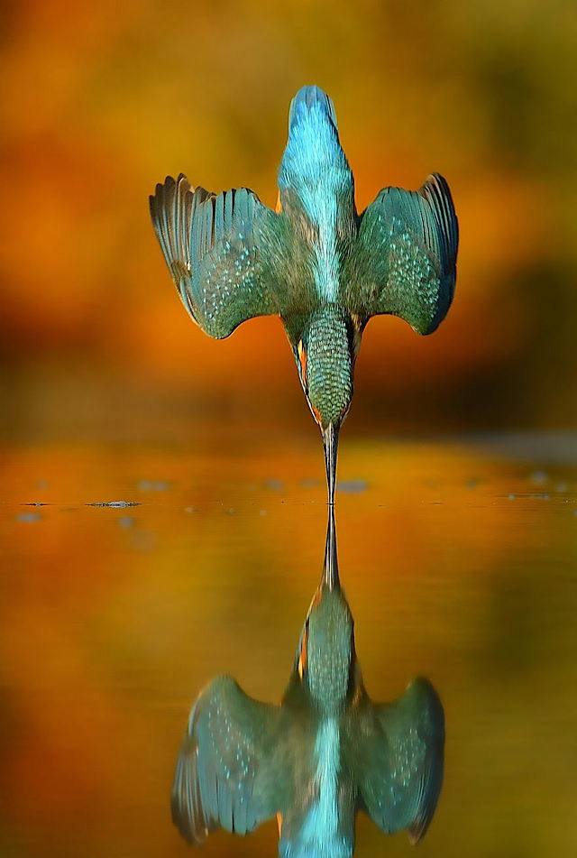 aaperfect-kingfisher-dive-photo-wildlife-photography-alan-mcfayden-311.jpg