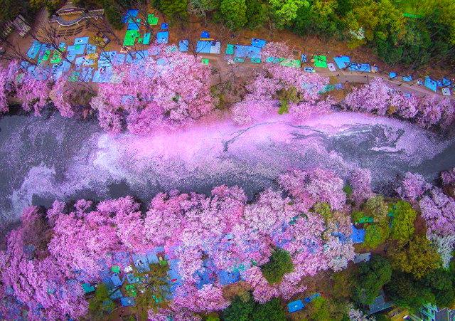 aasakura-cherry-blossom-drone-photography-danilo-dungo-japan-4.jpg