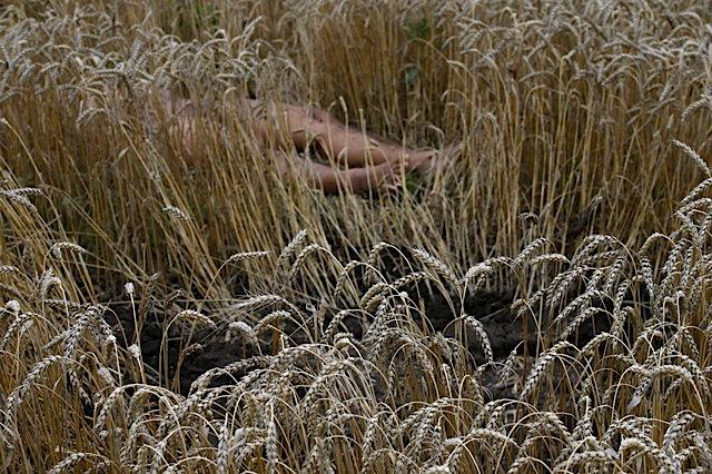 abodyinthwheat.jpg