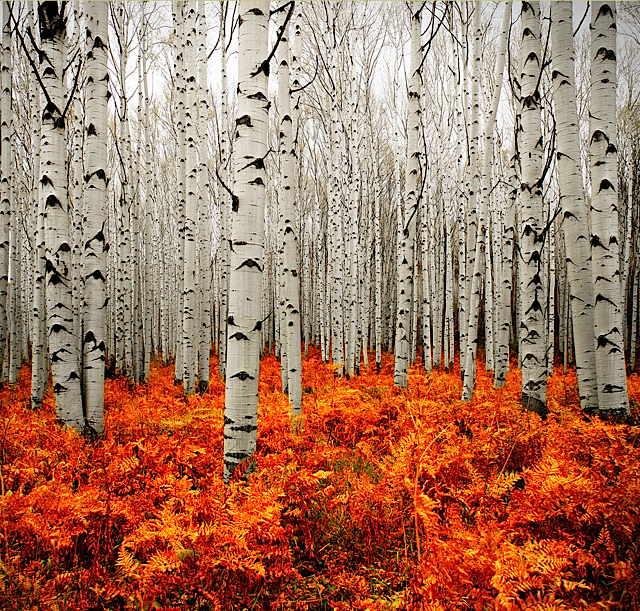 birch_trees_in_colorado_-_imgur.jpg