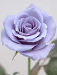 bluerose_1054016f.jpg