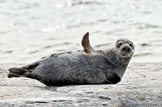 grey-seal-waving-goodbye-hello.jpg