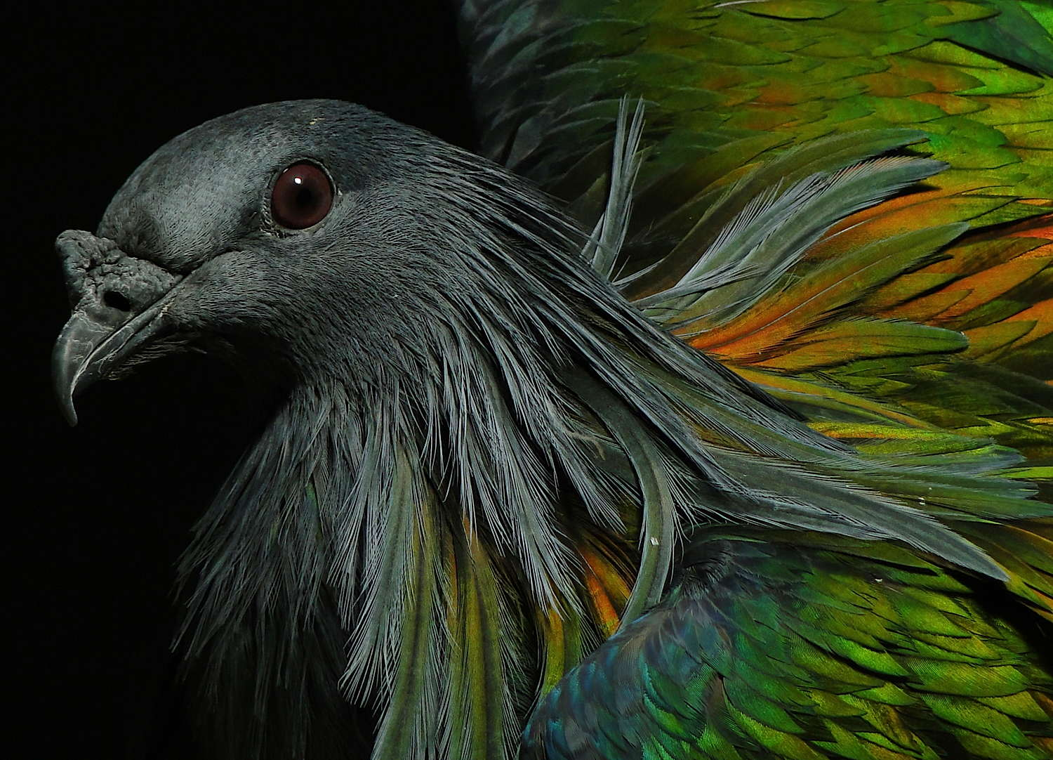 nicobar_pigeon_is_my_favorite_bird_that_resides_in_central_park_s_zoo.jpg