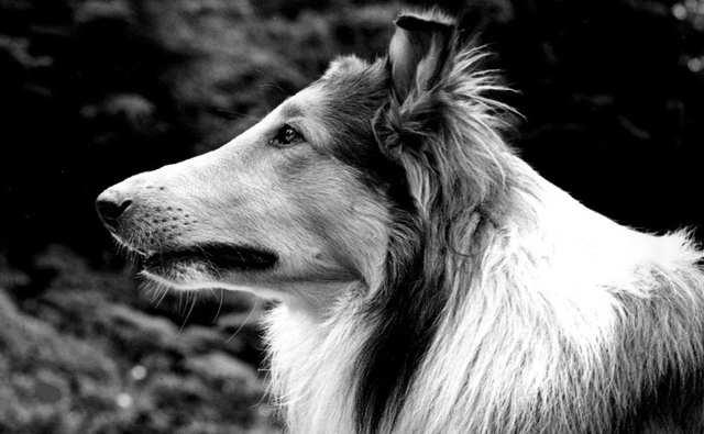 pal-lassie-hero.jpg