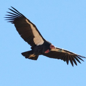 1220_condor-bird_400x400-300x300.jpg