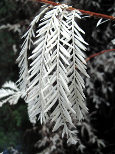 Albino_redwood.jpg