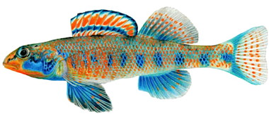 Etheostoma-obama-a-new-sp-008.jpg