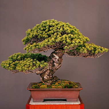 a_550_year_old_japanese_white_pine__titled__third_shogun___is_believed_to_be_the_oldest_living_bonsai_tree_in_the_world.jpg