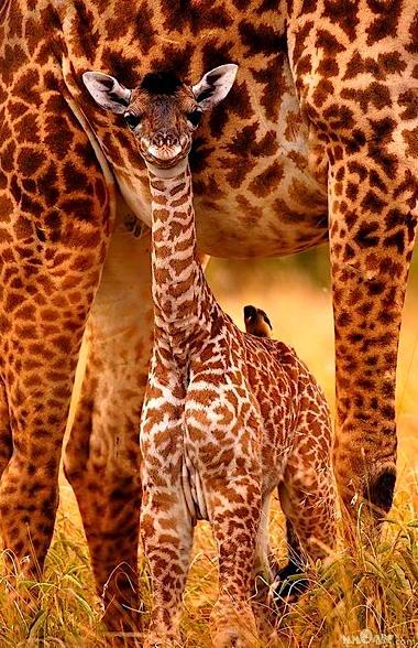 a_giraffebabe.jpg