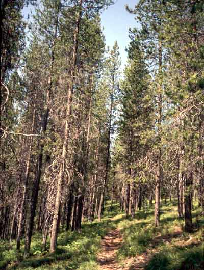 aaa%20CO_Plants_lodgepole_pine.jpg