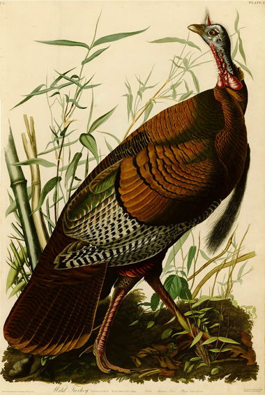 aawild_turkey_birds_of_america_5.jpg