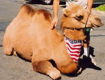 american_camel.jpg