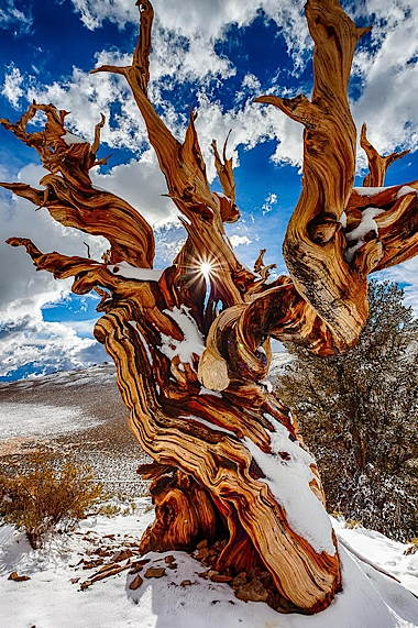 ancientbristlecone01.jpg