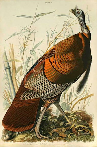 audubon_turkey_450.jpg