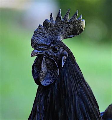 ayam-cemani-chicken-2.jpg