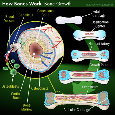 bones-growth.jpg