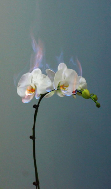 burning_orchid.jpg