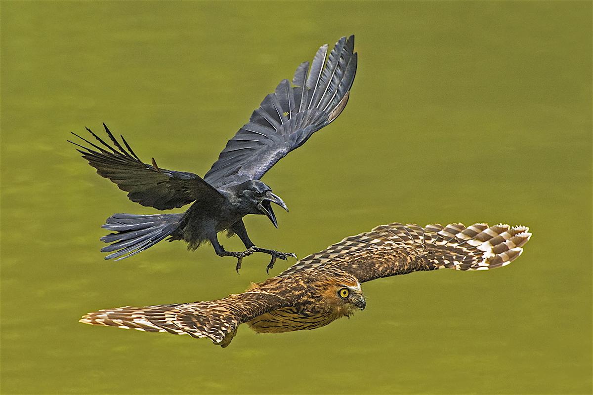 crowchasingpuffy.jpg