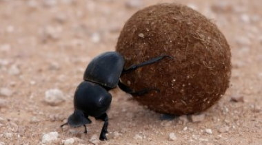 dung-beetle-340x226.jpg