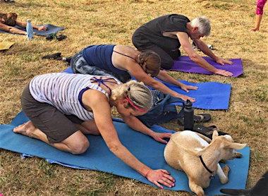 goat-yoga3-600x440.jpg