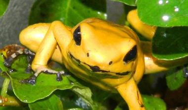 golden-poision-dart-frog2.jpg