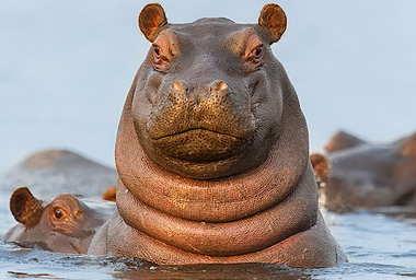 hello-hippo-2.jpg
