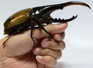 hercules_beetle.jpg