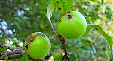 malus_sieversii_has_been_identified_as_the_wild_ancestor_of_domestic_apples.jpg