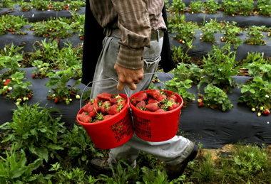 north-carolina-farm-strawberries-1.jpg