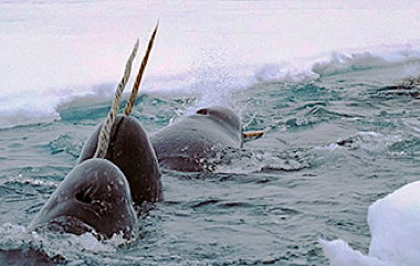 parade-of-narwhals-small.jpg