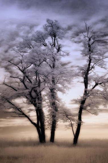 snowdrifttrees.jpg