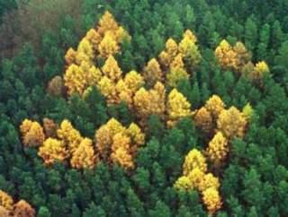 swastikatrees.jpg