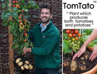 tomtato-plant3-550x420.jpg