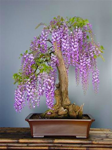 wisteria.353205351_std.jpg