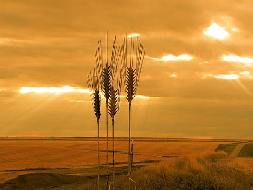 wheatfield_at_sunset.jpg