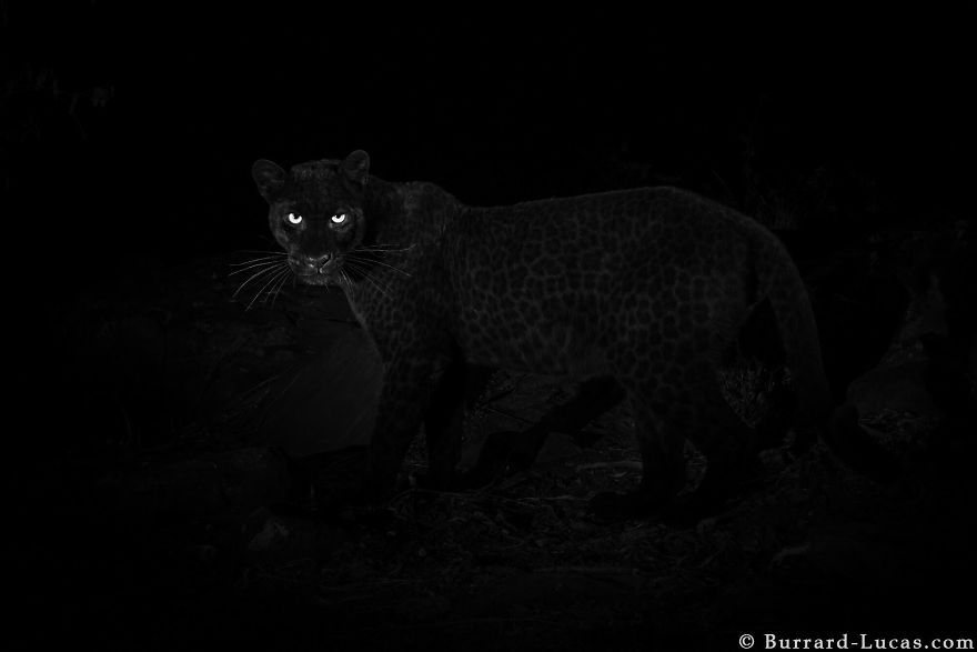 Something Wonderful: Photographer Sets Up Camera Traps To Photograph The Black Leopard In Africa For The First Time In 100 Years