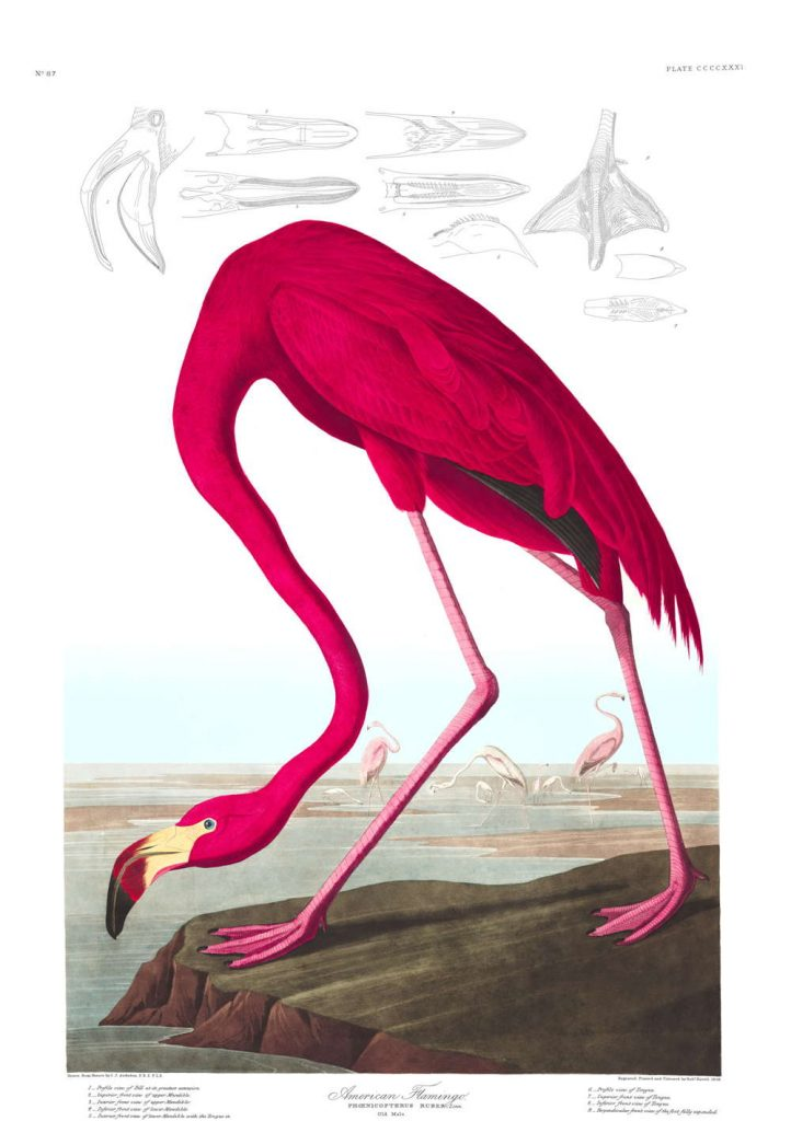 The Plates of <em>Birds of America</em>, Audubon's Masterpiece Are Now Yours