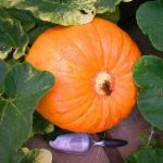 The Big Pumpkin (Dump) .... and Bumped